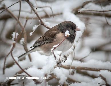 DARK EYED JUNCO IN SNOW-FILLED GARDEN