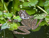 AHHH, THE LUSTY MONTH OF MAY - AND THE FROGS ARE BACK IN THE POND AGAIN AND CALLING OUT TO FIND JUST THE RIGHT ONE WITH WHICH TO MATE!!