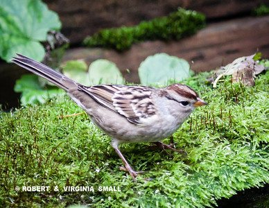 An immature White-crowned Sparrow on moss by our pond