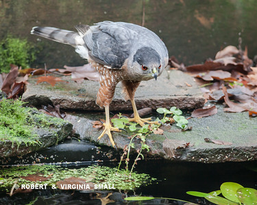 WHAT HAPPENED TO THE 'PREY BUFFET' THE COOPER'S HAWK SAW JUST BEFORE LANDED BY THE POND . . .