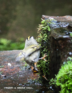 ROCK CLIMBING GOLDEN-CROWNED KINGLET