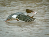 A FEMALE COMMON MERGANSER HEADS FOR SHORE WITH HER CATCH OF THE DAY