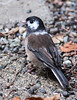 A MALE DARK-EYED JUNCO WITH PARTICULARLY NICE LEUCISTIC MARKINGS ON BOTH EYES AND AS A COLLAR AROUND IT'S NECK