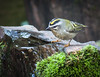 PERKEY GOLDEN-CROWNED KINGLET AT ONE OF THE WATER BUBBLERS