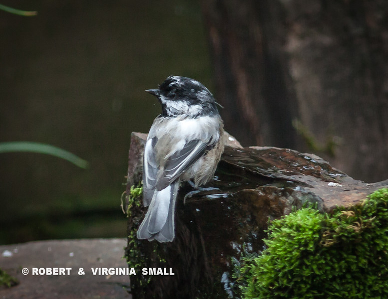 ANOTHER LEUCISTIC BIRD IN THE GARDEN YESTERDAY - THIS TIME A BLACK-CAPPED CHICKADEE