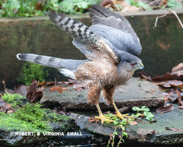 A COOPER'S HAWK LANDED BY OUR POND IN THE BACK GARDEN