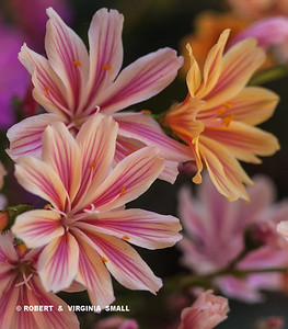 LEWISIA BLOSSOM beauties in our side garden