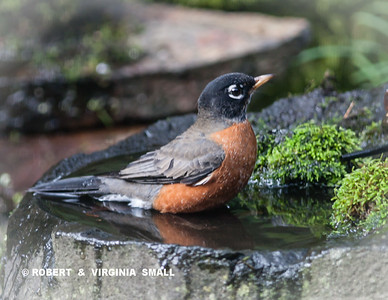 AMERICAN ROBIN BATHING BEAUTY
