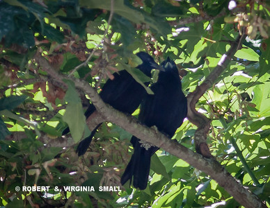 A PAIR OF AMERICAN CROWS sharing a quiet Summer moment together in our neighbor's maple tree
