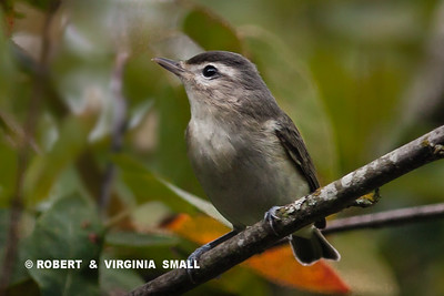 AMONG THIS WEEK'S NEW SIGHTINGS IN OUR GARDEN IS THIS LITTLE WARBLING VIREO