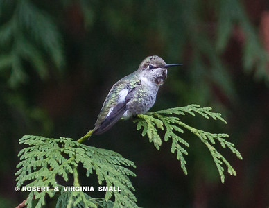 A female Anna's hummingbird  with some white blotches, possibly indicating leucisism.