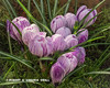 A SPRING BOUQUET OF PURPLE STRIPED CROCUSES BY OUR POND