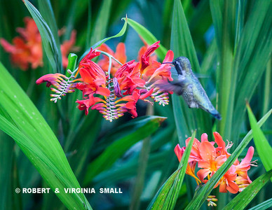 PHOTOGENIC CROCOSMIAS SHOWING OFF FOR AN ANNA'S HUMMINGBIRD