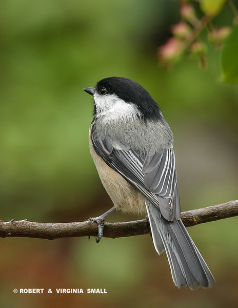 FOR COMPARISON,  THIS IS 'NORMAL' COLORATION OF BLACK-CAPPED CHICKADEE