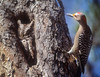 WHOA!  LOOK HERE!  GILA WOODPECKER DISCOVERS AN EASTERN SCREECH OWL IN A TREE CAVITY