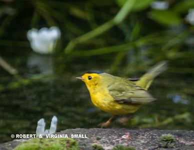 WILSON'S WARBLER AT OUR POND