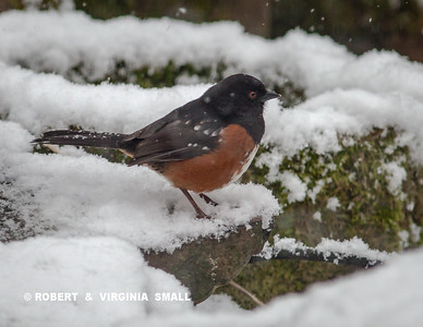 SPOTTED TOWHEE  BRAVED THE SNOW FLURRIES TO COME IN TO OUR GARDEN FOR WATER AND TO FORAGE FOR FOOD IN FREEZING TEMPERATURES THIS A.M.
