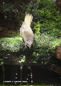 READY, SET, GO!  MACGILLVRAY'S WARBLER AT THE HIGH DIVE BY OUR POND!