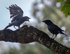 OMG!  HE WAS SUCH A SWEET LITTLE BIRD WHEN HE WAS IN MY NEST! <br /> AMERICAN CROW AND FLEDGLING EXHIBITING BEGGING BEHAVIOR