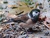 A VIEW OF THE JUNCO'S LEUCISTIC RIGHT EYE  AND COLLAR