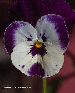 JUST A LITTLE PANSY