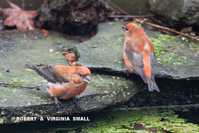 A SMALL FLOCK OF RED CROSSBILLS DROPPED IN FOR A SHORT VISIT THIS MORNING