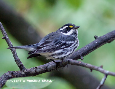 A BLACK-THROATED GRAY WARBLER IN OUR SERVICEBERRY TREE.  IT'S ALWAYS FUN TO HAVE AN UNUSUAL VISITOR DROP IN FOR A BATH OR A BUG DURING THE SUMMER MONTHS.  THE TRICK IS TO KEEP A CONSTANT  EYE ON THE GARDENS - THEY'RE OFTEN HERE AND THEN GONE IN A VERY SHORT TIME . . .