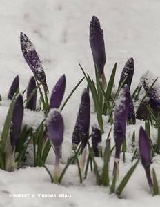 SPRING CROCUS IN A LATE SNOWFALL IN OUR GARDEN