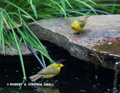 A COUPLE OF WILSON'S WARBLERS DROPPED IN FOR WATER AND A QUICK BATH ON THEIR MIGRATION THROUGH THIS AREA