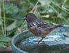 YOUNG SPOTTED TOWHEE WITH ITS TAIL FEATHERS MISSING . . . . WONDER HOW THAT HAPPENED . . . OR WAS IT HATCHED THAT WAY?