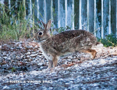 ONE OF THE COTTONTAIL RABBITS THAT WE'VE SEEN RECENTLY AND WHICH HAS (SO FAR!) ELUDED THE COYOTES, RACCOONS AND HAWKS THAT HUNT HERE IN THE VILLAGE