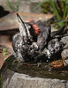Ecstatic young Pileated Woodpecker  bathing beauty REALLY enjoying a dip in on a warm day . . . .