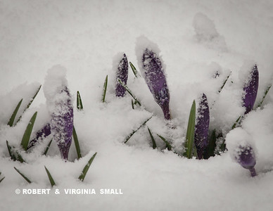 PURPLE STRIPED CROCUS BUDS EMERGING THROUGH THE SNOWFALL