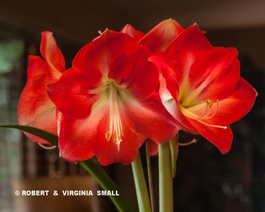 GLORIOUS   AMARYLLIS  BLOSSOMS  averaging eight inches in diameter each!