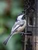 A PALE (LEUCISTIC) BLACK-CAPPED CHICKADEE