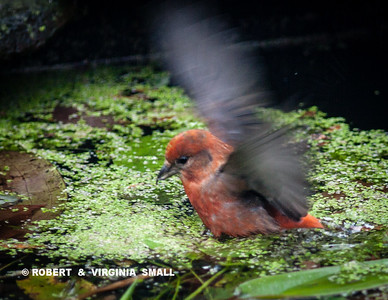 RED CROSSBILL  ATTEMPTING TO WALK ON WATER, WELL, UHHH, DUCKWEED??
