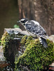 WEE LITTLE FEMALE DOWNY WOODPECKER AT ONE OF THE BUBBLERS