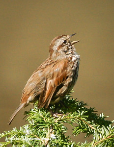 A SONG SPARROW - WHAT ELSE!?