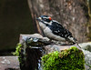 LITTLE MALE DOWNY WOODPECKER AT THE BUBBLER