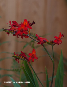 WE ADDED SOME MORE HUMMINGBIRD BAIT TO THE SIDE GARDEN OVER THE WEEKEND - SOME FIERY RED CROSCOSMIA 'DIABOLITO' PLANTS