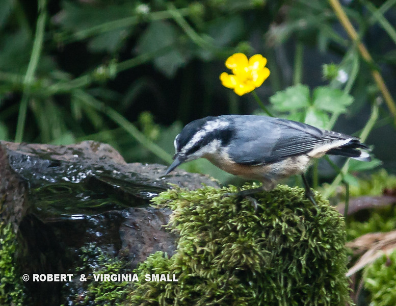 RED-BREASTED NUTHATCH AT BUBBLER