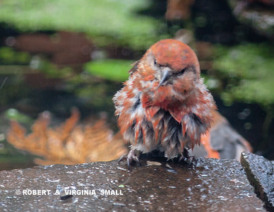 RED CROSSBILL BATHING BEAUTY