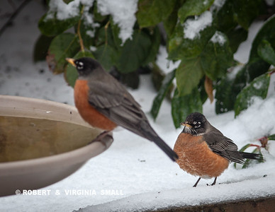 THE EARLY BIRD GETS . . . NOT MUCH IN FEBRUARY IN THE SNOW!    TWO OF THE EARLIST ROBIN SIGHTINGS WE'VE HAD IN OUR GARDEN HERE IN BIRCH BAY VILLAGE.