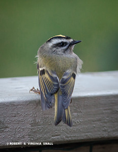 A STATELY LITTLE GOLDEN-CROWNED KINGLET ON THE FRONT PORCH RAIL