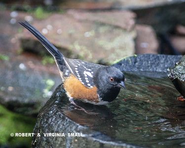 OOOOH!  THAT'S COLD WATER!  SPOTTED TOWHEE IN THE BASALT BASIN BIRD BATH