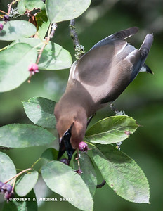 YUMMY! SERVICEBERRIES!