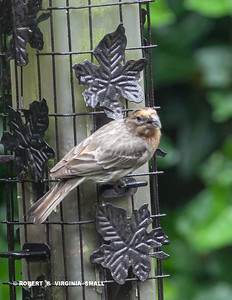 UNUSUAL VERY PALE ORANGE-CROWNED HOUSE FINCH AT OUR FEEDER