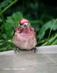 PUDGY PURPLE FINCH