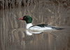 REFLECTED IMAGE OF A REGAL MALE COMMON MERGANSER FLOATING PAST ON A REED-LINED POND