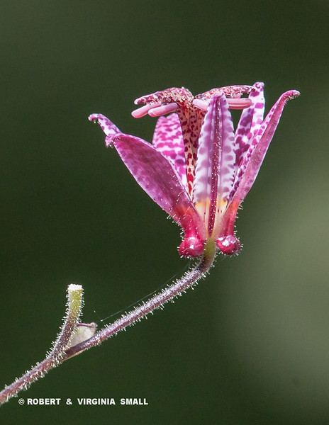 THE CURIOUSLY BEAUTIFUL BUT APTLY NAMED TOAD LILY